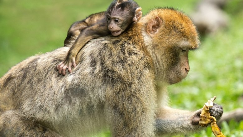 Ученые: приматы способны несколько месяцев испытывать горе от потери ребенка